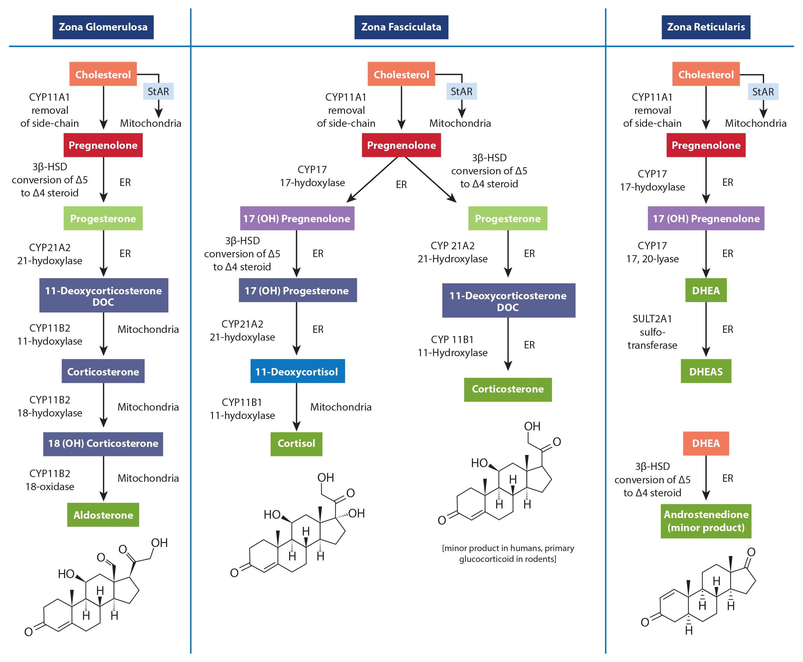 steroid hormone synthesis pathway ppt